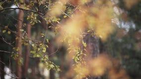 Ansicht des gelben Blattes auf Niederlassungen von Herbstbäumen im Park Ruhig, wellenartig bewegend auf Wind stock video
