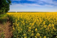 Ansicht des gelben Rapssamenfeldes in der Blüte durch Wald Stockfotos