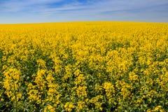 Ansicht des gelben Rapssamenfeldes in der Blüte durch Wald Lizenzfreie Stockbilder