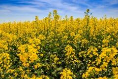 Ansicht des gelben Rapssamenfeldes in der Blüte durch Wald Stockbilder