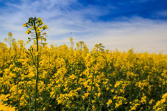 Ansicht des gelben Rapssamenfeldes in der Blüte unter blauem Himmel bewölkt sich Stockfotografie