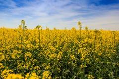 Ansicht des gelben Rapssamenfeldes in der Blüte unter blauem Himmel bewölkt sich Stockbilder