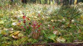 Ansicht des Herbst Europäerwaldes stock video