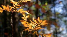 Ansicht des Herbst Europäerwaldes stock footage