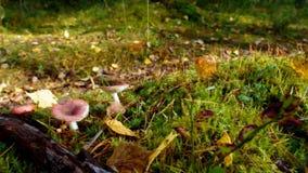 Ansicht des Herbst Europäerwaldes stock video footage