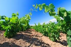 Ansicht des italienischen sonnigen Tages des Weinbergs im Frühjahr Lizenzfreies Stockbild