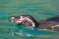 Ansicht des Kopfes eines Humboldt-Pinguins stockbilder