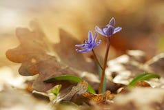 Ansicht des magischen blühenden Frühlingsschneeglöckchenzierpflanzenbaus von altem Lizenzfreie Stockfotos