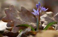 Ansicht des magischen blühenden Frühlingsschneeglöckchenzierpflanzenbaus von altem Lizenzfreies Stockfoto