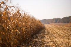 Ansicht des Maisfeldes zum sonnigen heißen Tag des Horizontes Thema ist organisch und landwirtschaftlich stockfotos