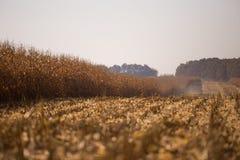 Ansicht des Maisfeldes zum sonnigen hei?en Tag des Horizontes Thema ist organisch und landwirtschaftlich stockfoto