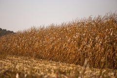 Ansicht des Maisfeldes zum sonnigen hei?en Tag des Horizontes Thema ist organisch und landwirtschaftlich lizenzfreie stockfotos