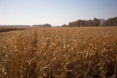 Ansicht des Maisfeldes zum sonnigen hei?en Tag des Horizontes Thema ist organisch und landwirtschaftlich lizenzfreie stockbilder
