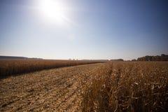 Ansicht des Maisfeldes zum sonnigen hei?en Tag des Horizontes Thema ist organisch und landwirtschaftlich stockfotografie