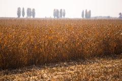 Ansicht des Maisfeldes zum sonnigen hei?en Tag des Horizontes Thema ist organisch und landwirtschaftlich stockfotos