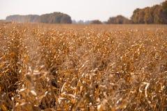 Ansicht des Maisfeldes zum sonnigen hei?en Tag des Horizontes Thema ist organisch und landwirtschaftlich stockbilder