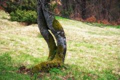 Ansicht des mysteriösen großen Baums mit grünem Moos in einem tiefgrünen Ruhiges und wildes Naturkonzept Der sonnige Tag Stockfotografie