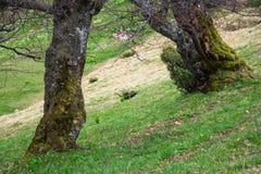 Ansicht des mysteriösen großen Baums mit grünem Moos in einem tiefgrünen Ruhiges und wildes Naturkonzept Der sonnige Tag Stockfotos