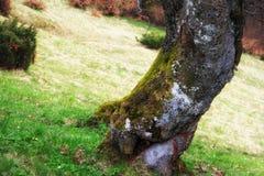 Ansicht des mysteriösen großen Baums mit grünem Moos in einem tiefgrünen Ruhiges und wildes Naturkonzept Der sonnige Tag Lizenzfreies Stockfoto