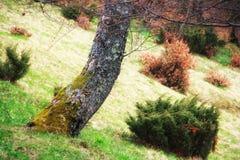 Ansicht des mysteriösen großen Baums mit grünem Moos in einem tiefgrünen Ruhiges und wildes Naturkonzept Der sonnige Tag Lizenzfreie Stockfotos