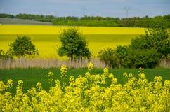 Ansicht des Rapsfelds mit Landschaft mit Bäumen und jungem Korn unter blauem Himmel Lizenzfreies Stockbild