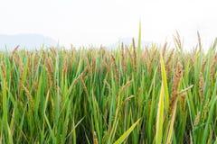 Ansicht des Reis-Feldes unter blauem Himmel Lizenzfreie Stockbilder