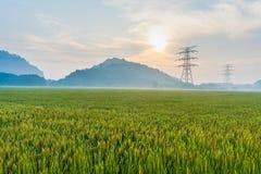 Ansicht des Reis-Feldes unter blauem Himmel Lizenzfreies Stockbild