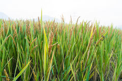 Ansicht des Reis-Feldes unter blauem Himmel Stockbilder