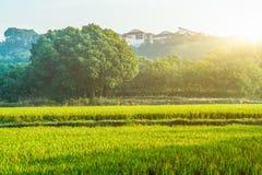 Ansicht des Reis-Feldes unter blauem Himmel Stockfoto