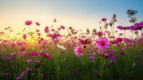 Ansicht des schönen Kosmosblumenfeldes in der Sonnenuntergangzeit stockfoto