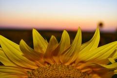 Ansicht des Sonnenuntergangs über Sonnenblumenblumenblättern Stockbild