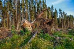 Ansicht des Stumpfs mit Wurzeln Stockfotografie