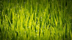 Ansicht des Tautropfens auf dem Reis keimt morgens lizenzfreie stockbilder