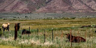 Ansicht des Viehs, das an der Hunewill-Ranch nahe Bridgeport, Kalifornien im Spätfrühling weiden lässt stockfotos