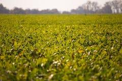 Ansicht des Zuckerr?benfeldes zum Horizont Thema ist orginic und landwirtschaftlich stockfotos