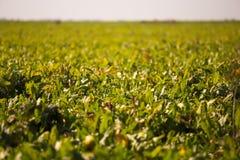 Ansicht des Zuckerr?benfeldes zum Horizont Thema ist orginic und landwirtschaftlich lizenzfreie stockbilder