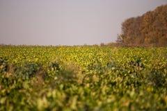 Ansicht des Zuckerr?benfeldes zum Horizont Thema ist orginic und landwirtschaftlich lizenzfreie stockfotos