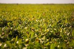 Ansicht des Zuckerr?benfeldes zum Horizont Thema ist orginic und landwirtschaftlich stockbild