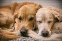 Ansicht des zwei Hundelügens Stockfoto