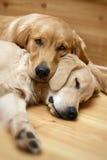 Ansicht des zwei Hundelügens Lizenzfreie Stockfotografie