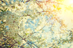 Ansicht durch blühende alte Frau des Kirschbaum instagram Zauntritts Stockbilder