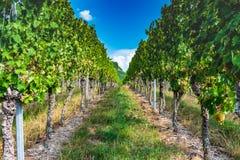 Ansicht durch den Weinberg mit blauem Himmel lizenzfreies stockfoto