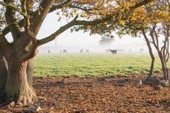 Ansicht durch Eichen des Feldes der Kühe auf einem nebelhaften Morgen im Herbst stockfoto