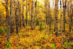 Ansicht durch einen Espenwald mit vibrierendem Herbstlaub Stockbilder