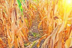 Ansicht durch Reihen von reifen Maispflanzen Instagram Stockbilder