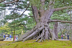 Ansicht einer angehobenen Wurzelkiefer in einem Garten in Kanazawa Lizenzfreie Stockfotografie
