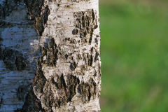 Ansicht einer Birkenrindenahaufnahme gegen einen Wald im bokeh Lizenzfreie Stockfotografie