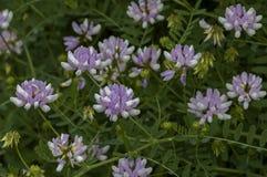 Ansicht einer Gruppe der Kronenwicke, der Vicia Sativa oder des coronilla varia Wildflower auf der Wiese, Sofia Lizenzfreie Stockbilder