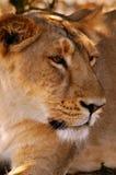 Ansicht einer Löwin Stockfotos