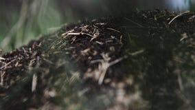 Ansicht eines Ameisenhaufens am sonnigen Tag stock video